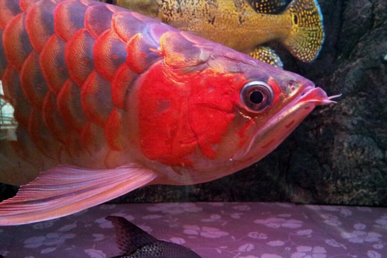 西安印尼小红龙  西安龙鱼 西安博特第2张