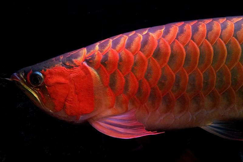西安印尼小红龙  西安龙鱼 西安博特第4张