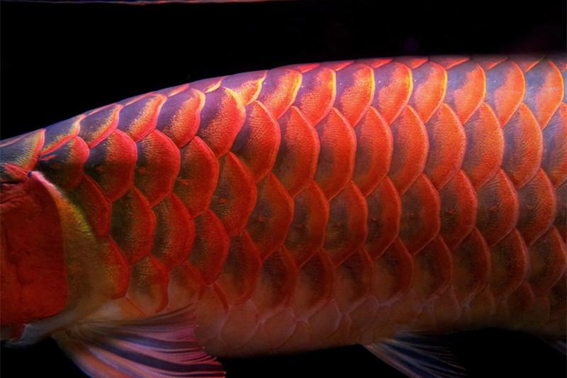 西安印尼小红龙  西安龙鱼 西安博特第5张