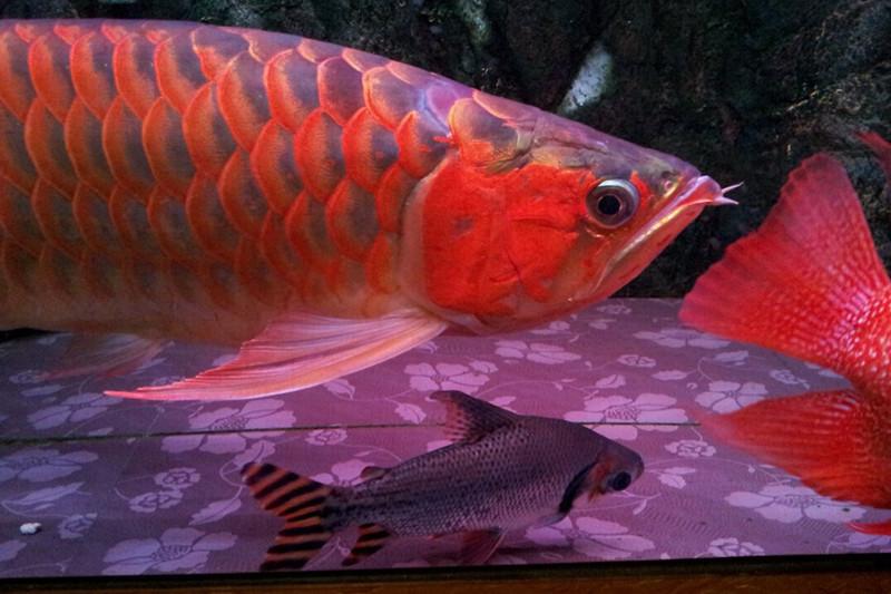 西安印尼小红龙  西安龙鱼 西安博特第3张