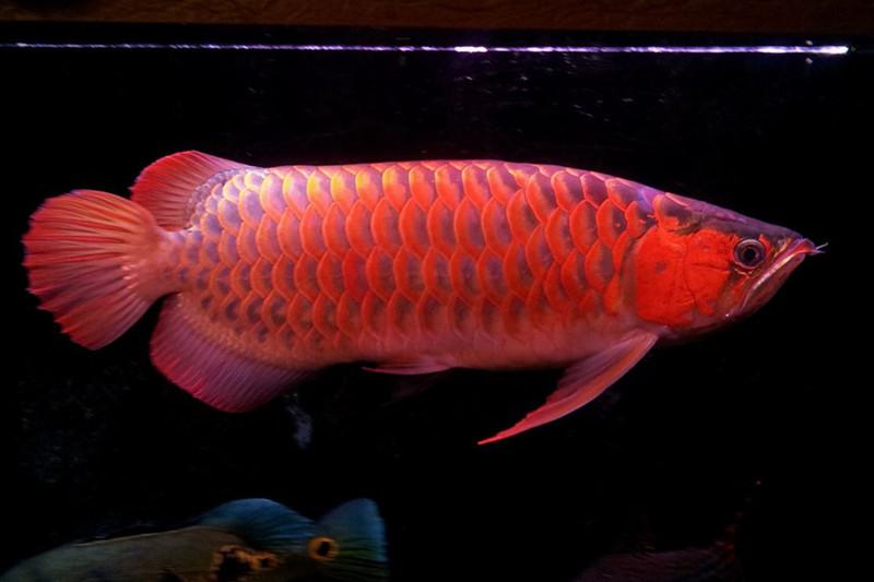 西安高品质龙鱼