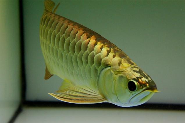 西安金头金龙鱼专卖