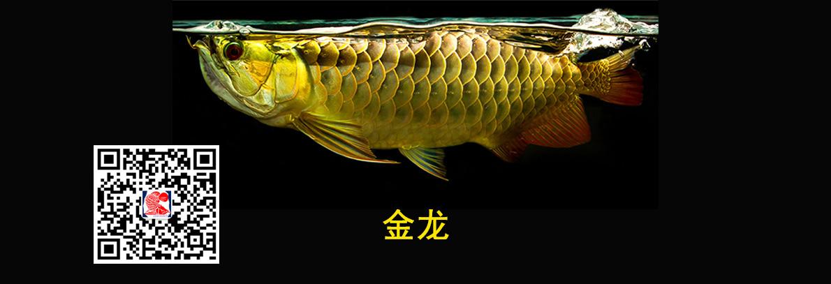 西安金龙鱼