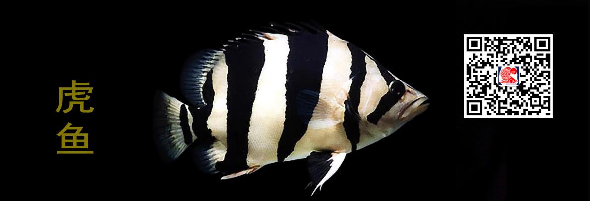西安虎鱼(泰虎印尼三四纹虎)