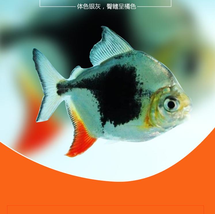 祥龙鱼场黑桃A鱼