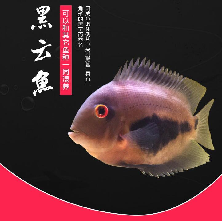 福州黑云(大吉大利)鱼