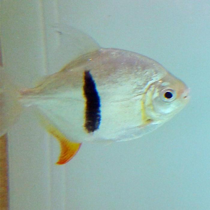 成都细线银板鱼