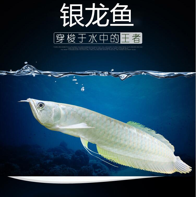 南通银龙|银龙苗 混养鱼(南通龙鱼配鱼)