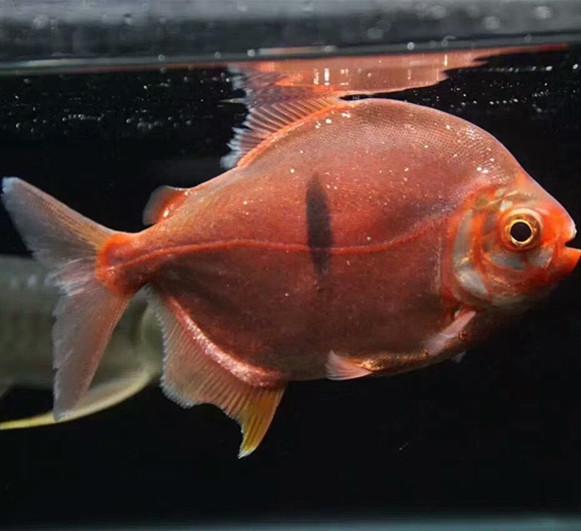 西安玫瑰银板鱼 西安水族新品 西安博特第2张