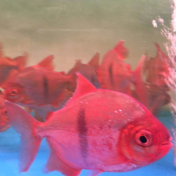 西安玫瑰银板鱼 西安水族新品 西安博特第3张