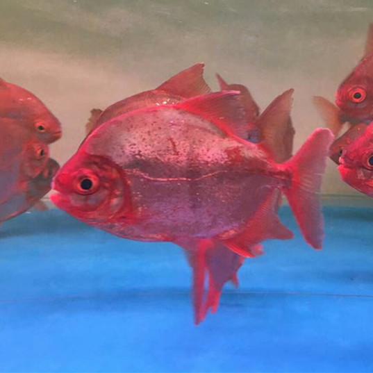 西安玫瑰银板鱼