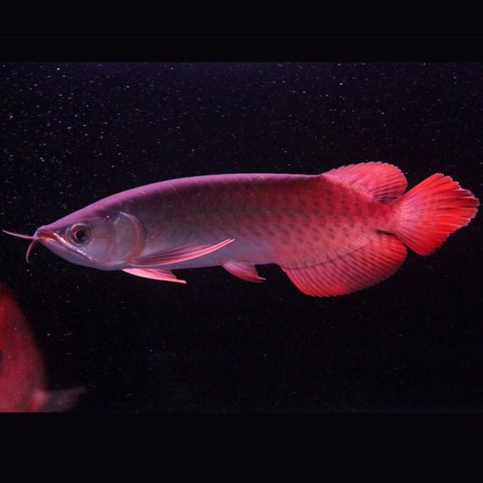 西安印尼小红龙  西安龙鱼 西安博特第1张