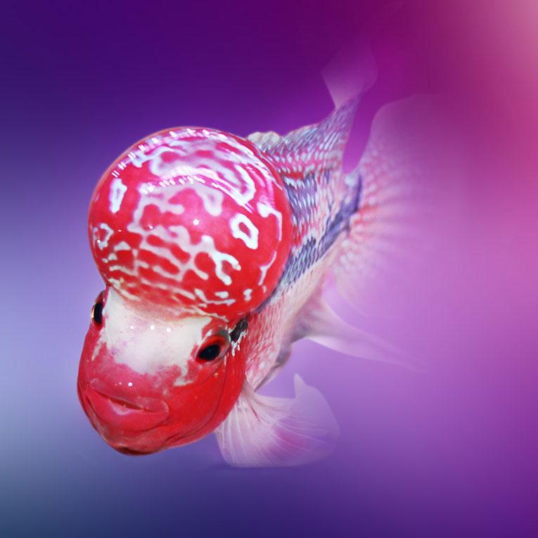 西安泰金罗汉鱼