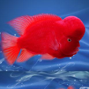 西安红马罗汉鱼