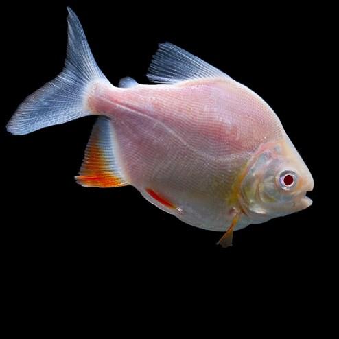 西安白子银板鱼