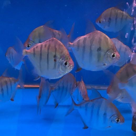 西安虎纹银板鱼