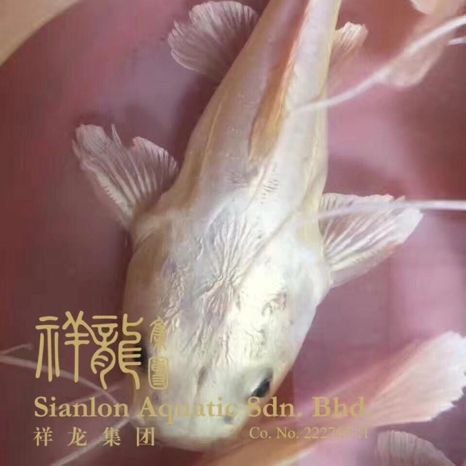西安黄金猫鱼