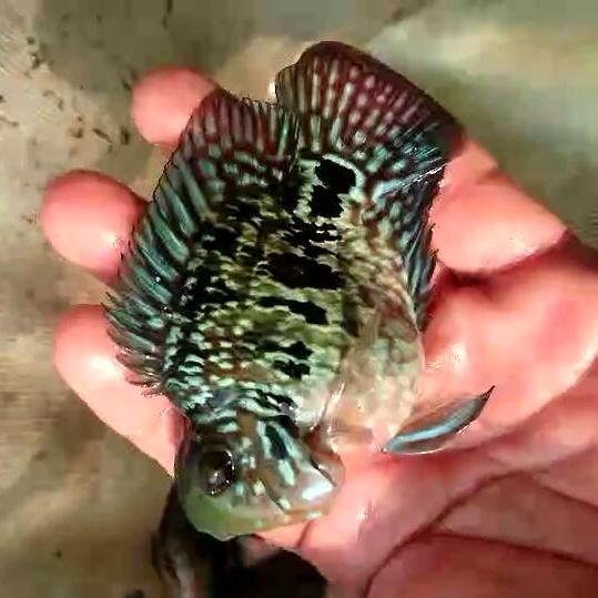 西安福满钻鱼 西安水族新品 西安博特第3张