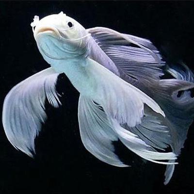 西安蝴蝶鲤鱼