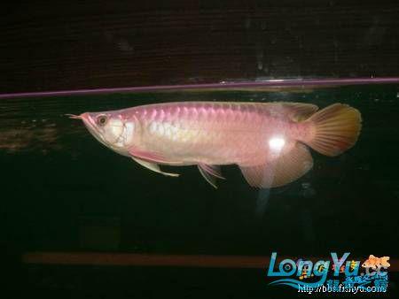 紅塔娜special-----进军日本的梦幻鱼种