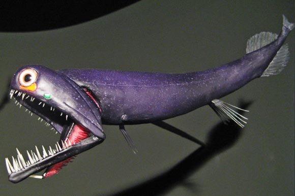 龙鱼新品种::黑龙!