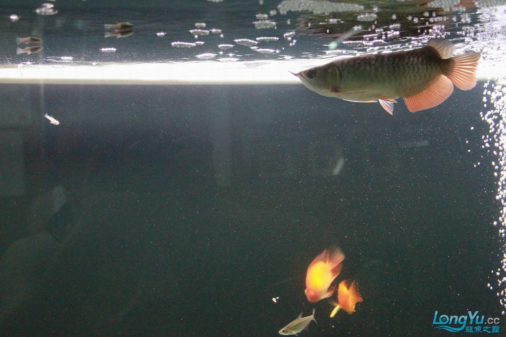 (西安印尼辣椒红龙鱼)大家看看我的小宝,到家半个月。20cm长