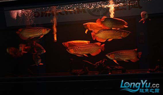 广州吉龙鱼业欢迎各位龙友参观选购