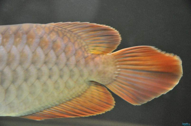 请回家4个月了,状态极佳,发发小龙的照片....... 西安观赏鱼信息 西安博特第2张