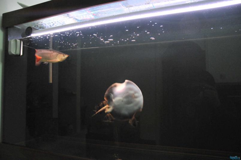 请回家4个月了,状态极佳,发发小龙的照片....... 西安观赏鱼信息 西安博特第3张