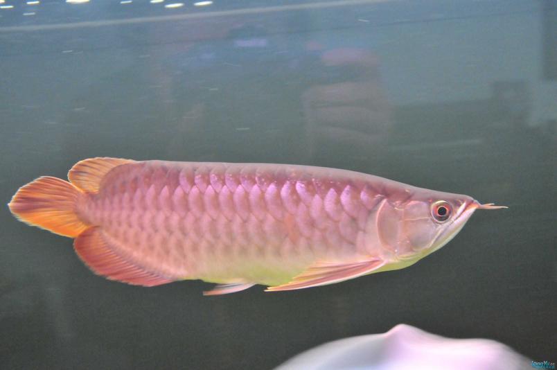 请回家4个月了,状态极佳,发发小龙的照片....... 西安观赏鱼信息 西安博特第4张