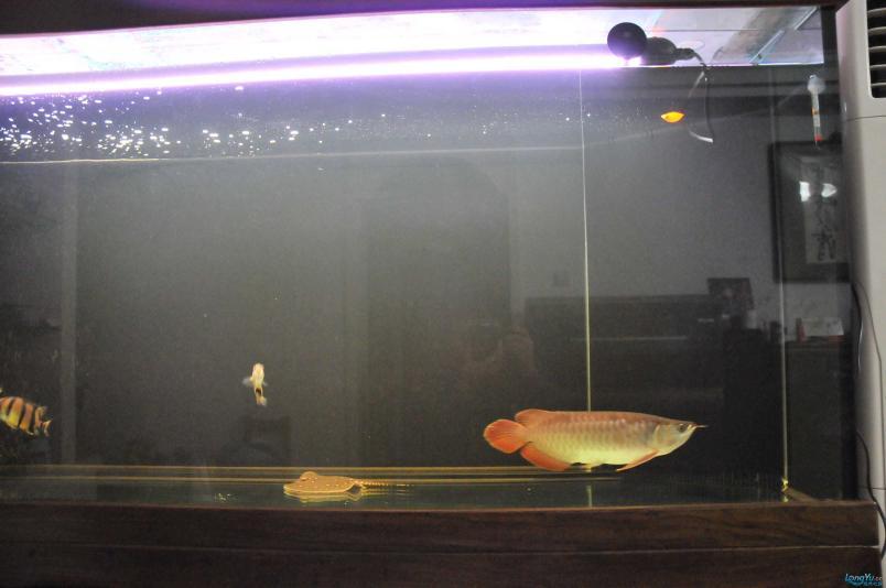 请回家4个月了,状态极佳,发发小龙的照片....... 西安观赏鱼信息 西安博特第5张