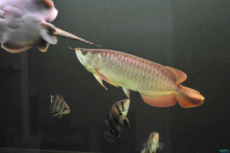 请回家4个月了,状态极佳,发发小龙的照片....... 西安观赏鱼信息 西安博特第6张
