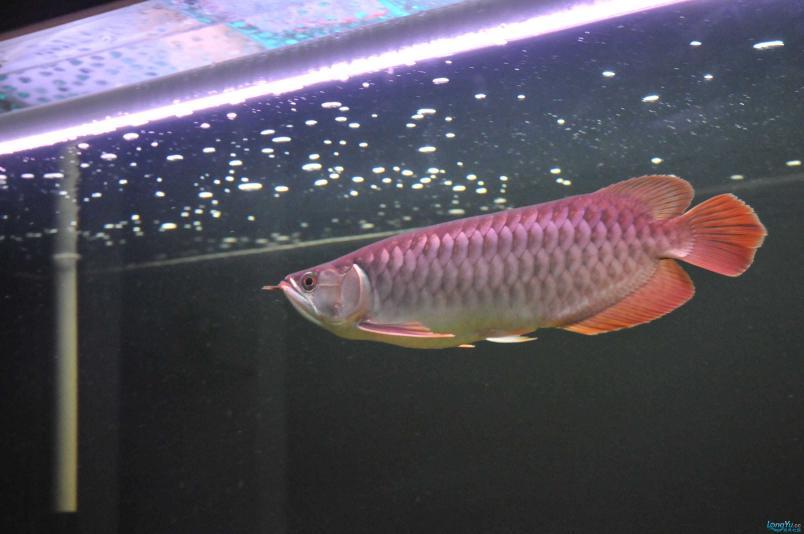 请回家4个月了,状态极佳,发发小龙的照片....... 西安观赏鱼信息 西安博特第7张