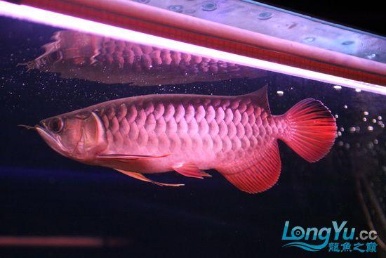 【西安最大花鸟市场】爱好的痛苦历程,我的养龙之路!!!写给所有的爱龙和鱼商 西安观赏鱼信息 西安博特第2张