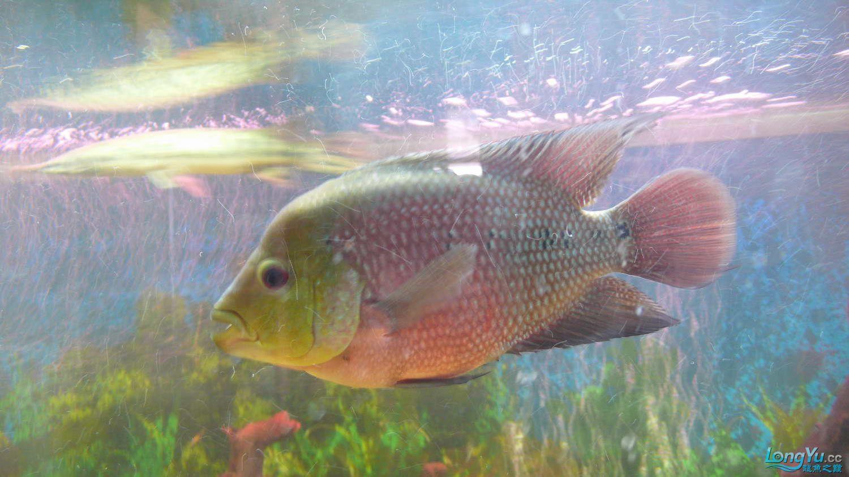 【西安最大花鸟市场】爱好的痛苦历程,我的养龙之路!!!写给所有的爱龙和鱼商 西安观赏鱼信息 西安博特第5张