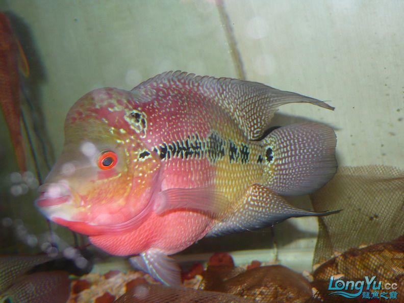 【西安最大花鸟市场】爱好的痛苦历程,我的养龙之路!!!写给所有的爱龙和鱼商 西安观赏鱼信息 西安博特第11张