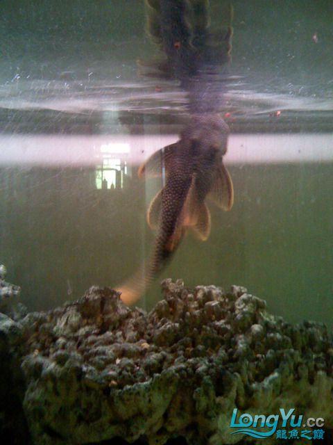 【西安最大花鸟市场】爱好的痛苦历程,我的养龙之路!!!写给所有的爱龙和鱼商 西安观赏鱼信息 西安博特第17张