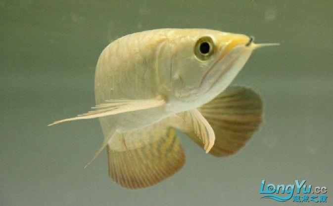 小蓝底过背 西安观赏鱼信息 西安博特第1张