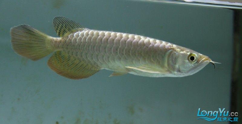 小蓝底过背 西安观赏鱼信息 西安博特第3张