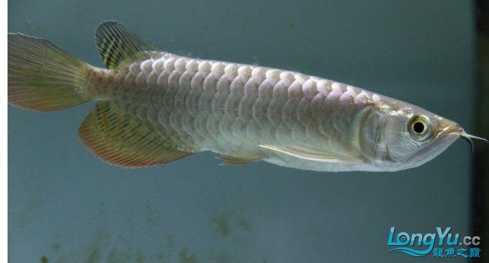 小蓝底过背 西安观赏鱼信息 西安博特第2张