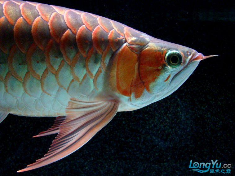 龙鱼大阅兵之重在参与 西安观赏鱼信息 西安博特第2张