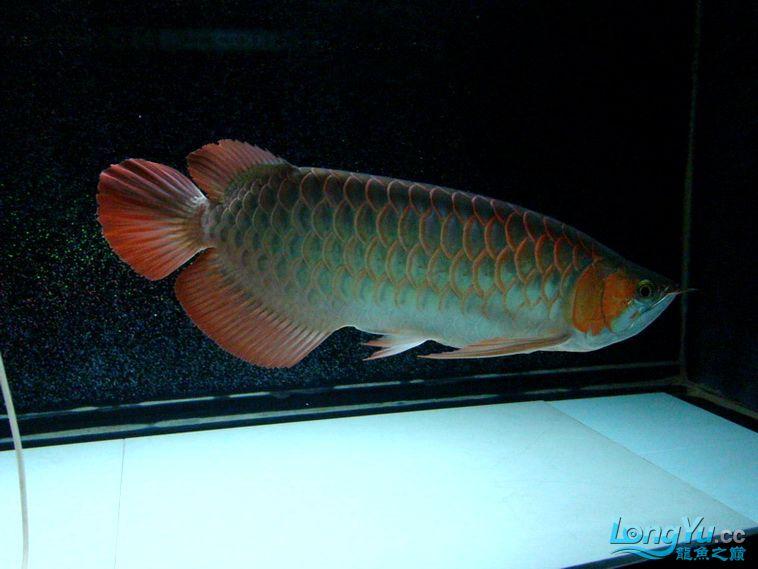 龙鱼大阅兵之重在参与 西安观赏鱼信息 西安博特第1张