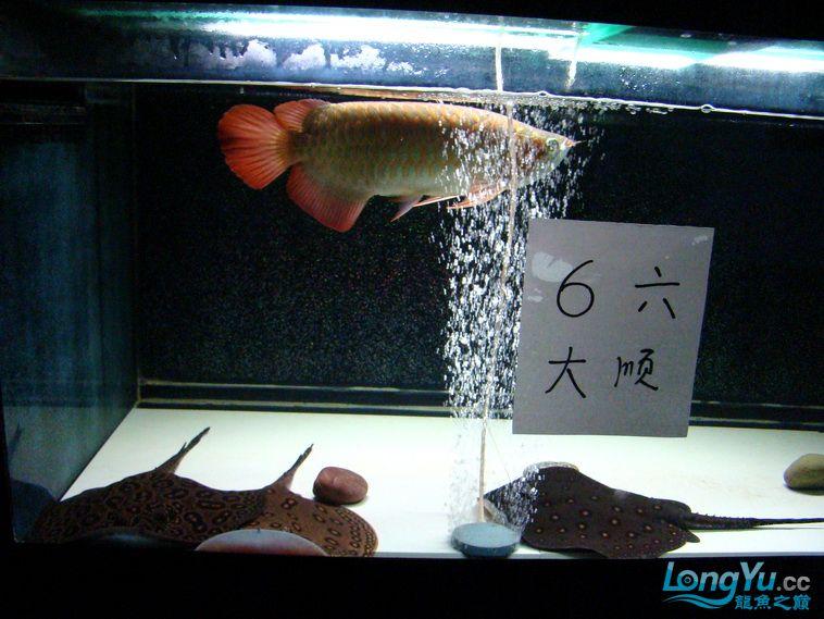 龙鱼大阅兵之重在参与 西安观赏鱼信息 西安博特第6张