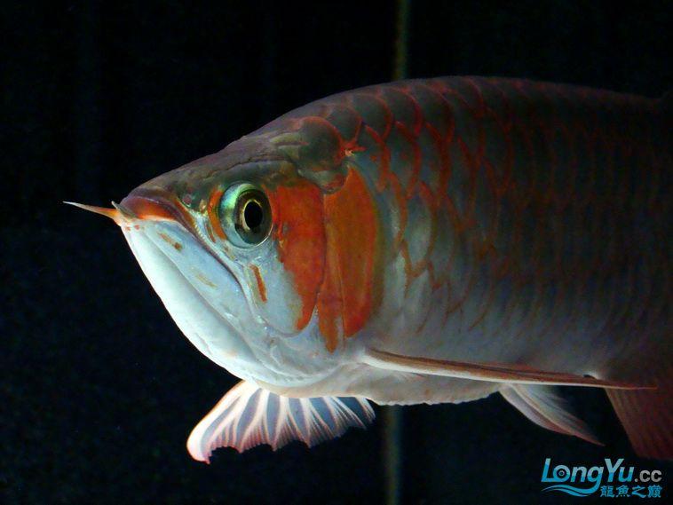 龙鱼大阅兵之重在参与 西安观赏鱼信息 西安博特第5张