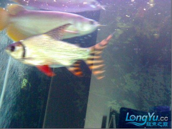 【西安鱼缸清洗】发发自己的练手龙! 西安观赏鱼信息 西安博特第1张