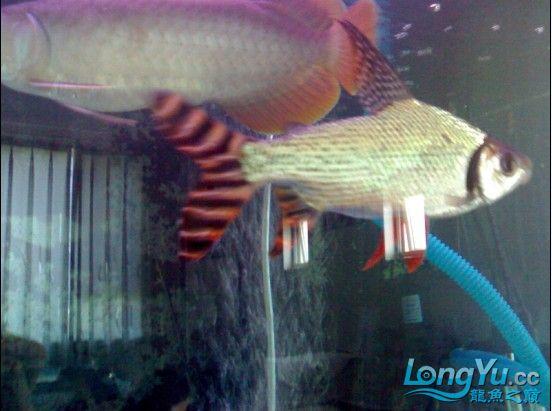【西安鱼缸清洗】发发自己的练手龙! 西安观赏鱼信息 西安博特第2张