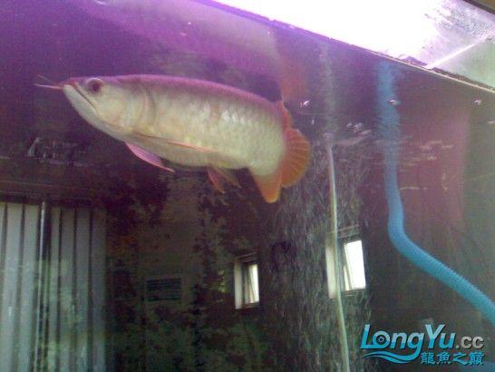 【西安鱼缸清洗】发发自己的练手龙! 西安观赏鱼信息 西安博特第3张
