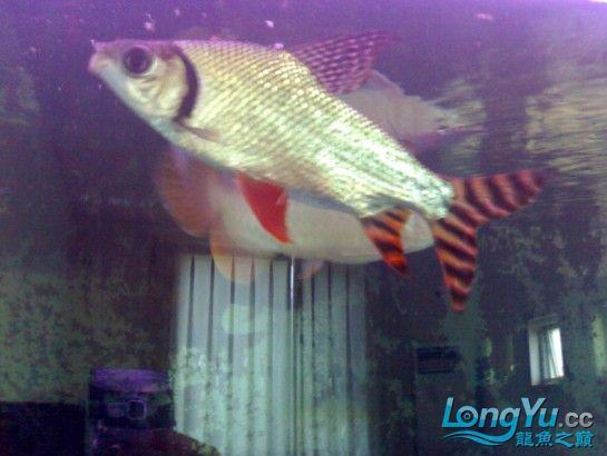 【西安鱼缸清洗】发发自己的练手龙! 西安观赏鱼信息 西安博特第5张