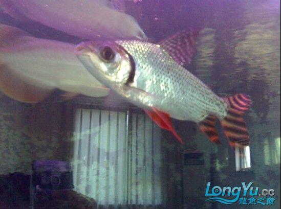 【西安鱼缸清洗】发发自己的练手龙! 西安观赏鱼信息 西安博特第4张