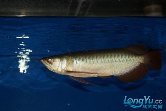 龙龙到家第3天 新填成员小虹 高手拍砖 西安观赏鱼信息 西安博特第4张
